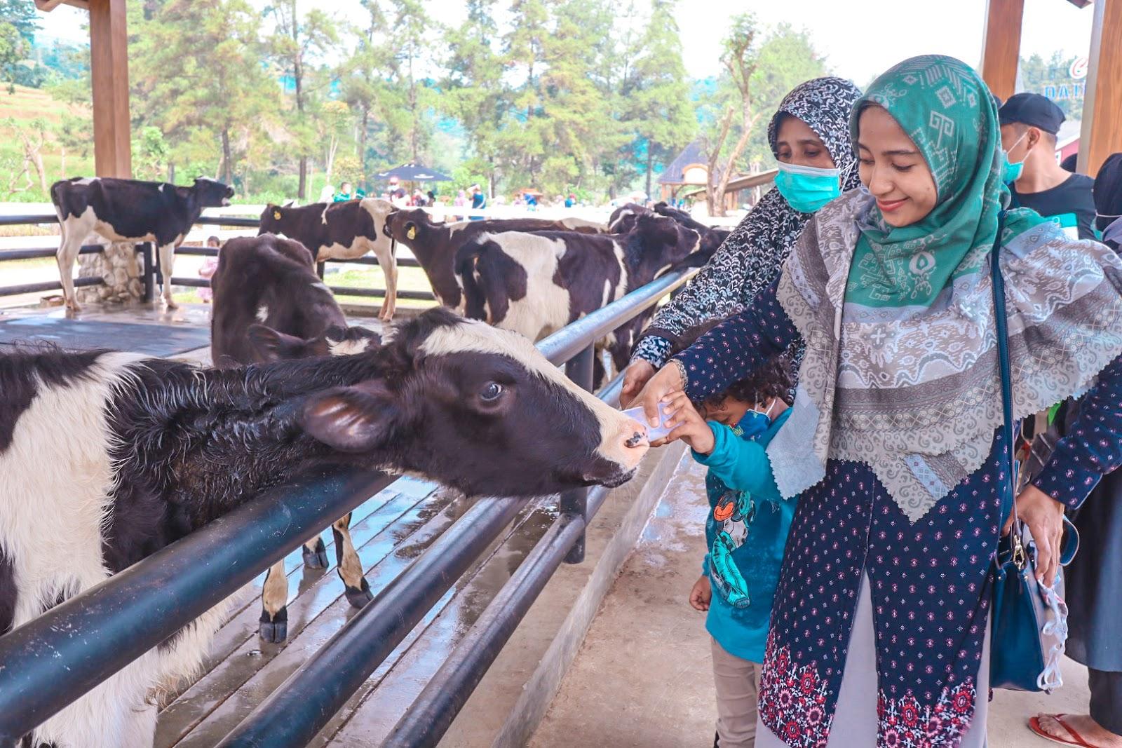cow-feeding-cimory-dairyland-puncak-bogor