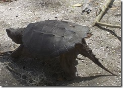 Snapping turtle-1