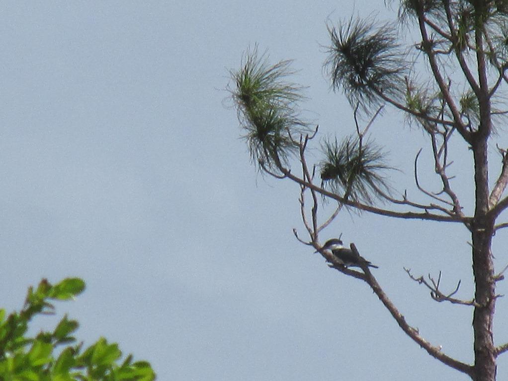 [Kingfisher+Bird+%283%29%5B11%5D]