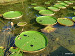 Lily Pads, Hong Kong Wetland Park  [2011]