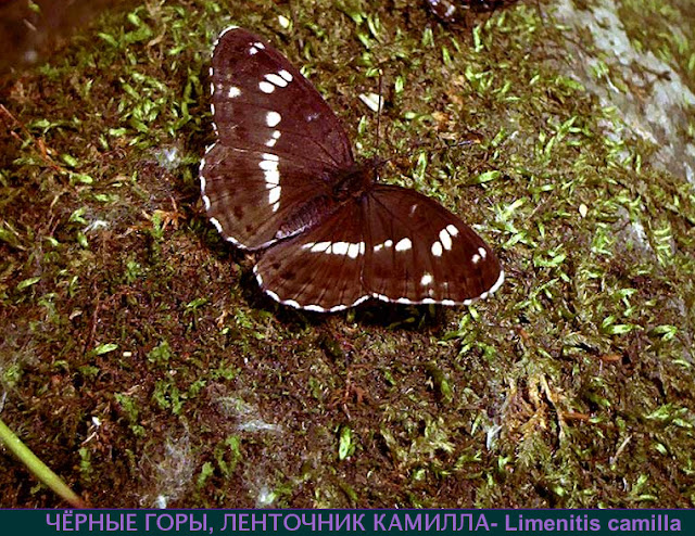 Ladoga (Limenitis) camilla japonica MÉNÉTRIES, 1857, Oussouri. Photo : N. N. Balatskij