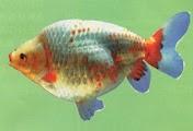 Ikan koi Maruka