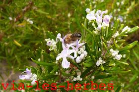 abeille et romarin.jpg