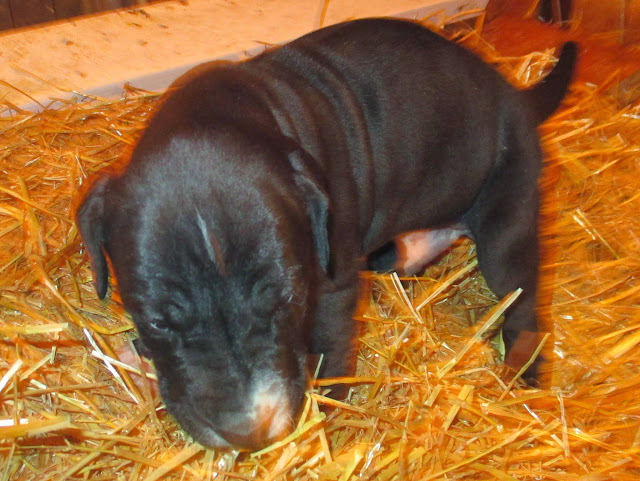 Available black male @ 5 weeks