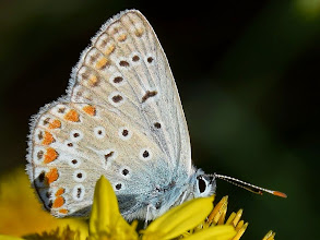 Photo: Plebejus argus