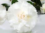 極淡桃色 八重 バラ咲き 大輪