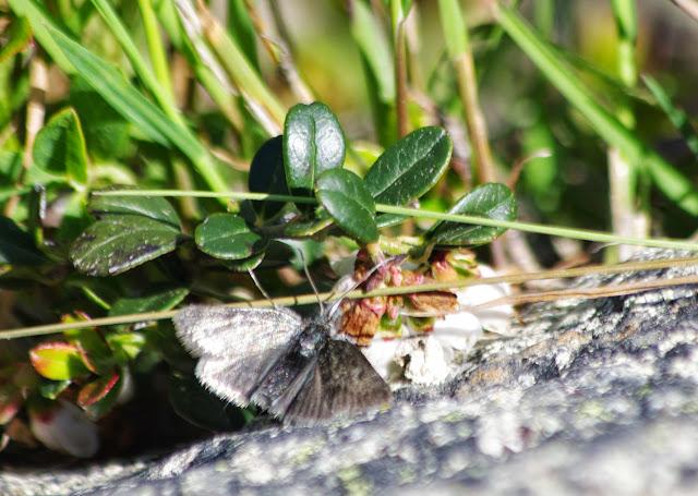 Noctuidae. Furtschellas, Sils Maria, 2200 m (Grisons, CH), 11 juillet 2013. Photo : J.-M. Gayman