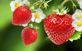 La culture de fraisier