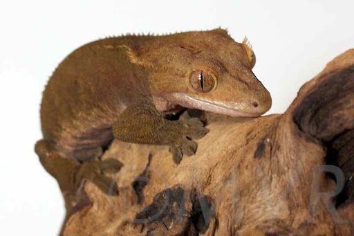 Pocket - Patternless buckskin adult female crested gecko from moonvalleyreptiles.com  sc 1 st  Moon Valley Reptiles & Crested Gecko Morph Guide: Colors Morphs and Traits ...