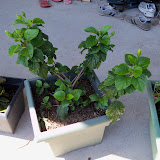 Gardening 2010, Part Three - 101_4494.JPG
