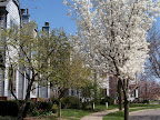 Corn Hill Place and flowering pear