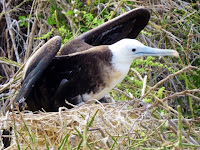 Galapagos Frigate Bird Adolescent in Nest