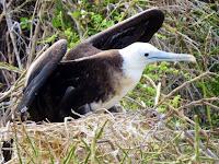 Galapagos Frigate Bird Adolescent in Nest
