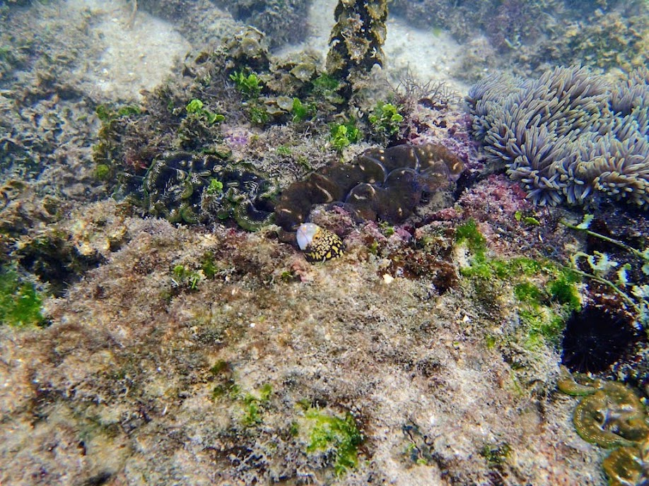 Echidna nebulosa (Snowflake Moray Eel), Miniloc Island Resort reef, Palawan, Philippines.