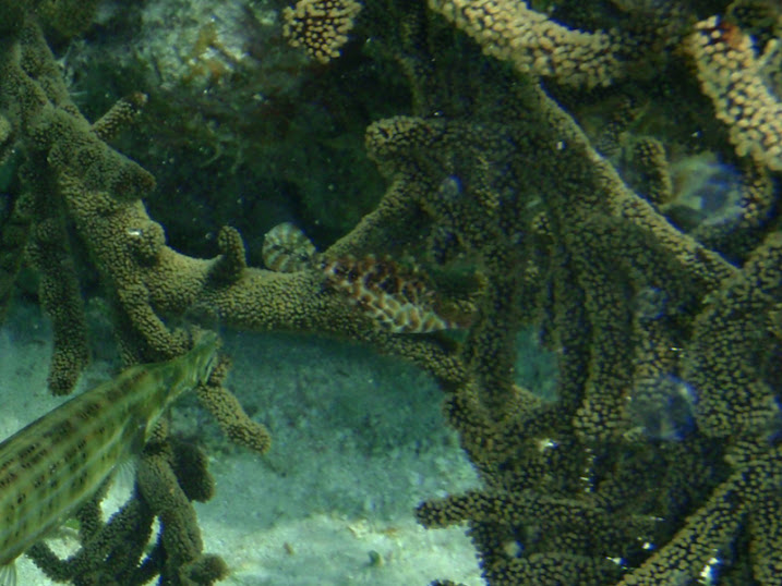 Monacanthus tuckeri (Slender Filefish) near Tranquility Bay Resort.