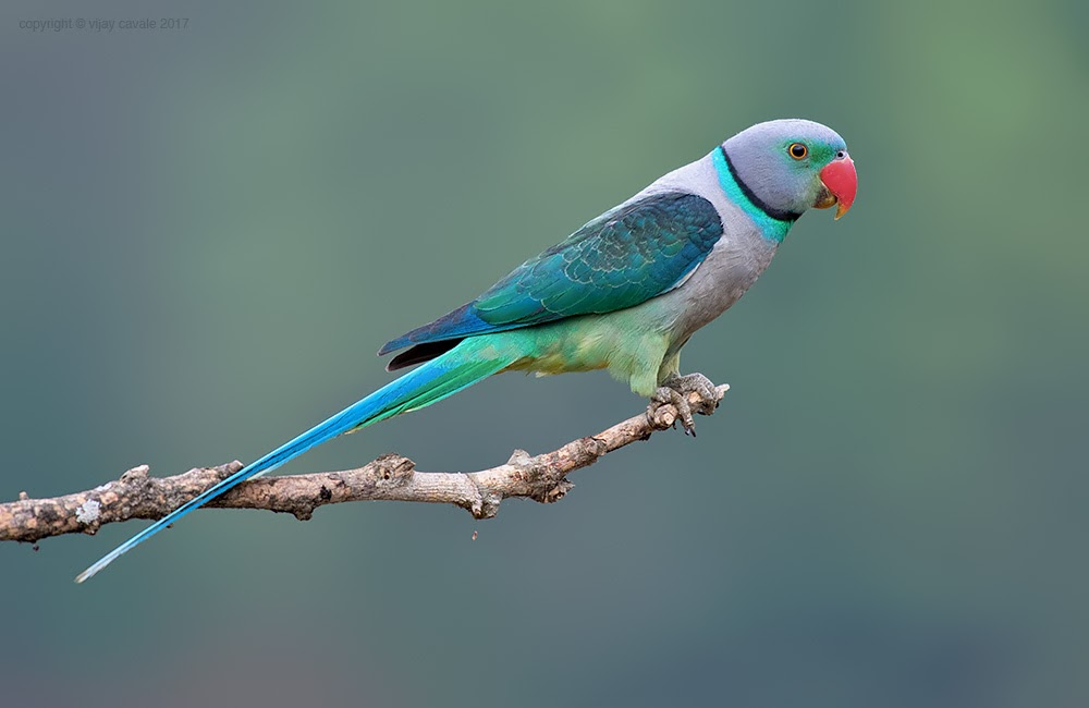 Malabar Parakeet (Male) * Psittacula columboides * 38 cms