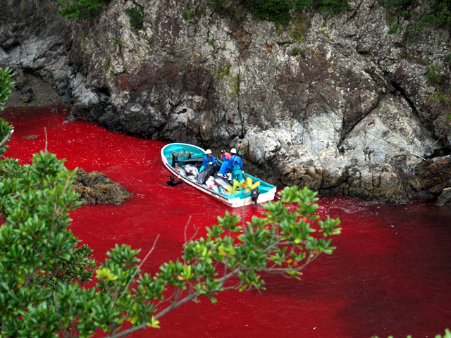 The waters of 'The Cove' in Taiji, Japan run red with the blood of slaughtered dolphins, during the annual drive hunt in 2003. Photo: Brooke MacDonald  / Sea Shepherd
