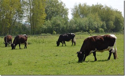 9 gloucester cattle