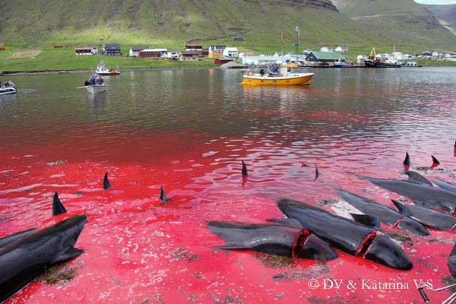 Dead pilot whales line the killing beach of Hvannasund, Danish Faroe Islands. Photo: Imagevianordlysid.fo