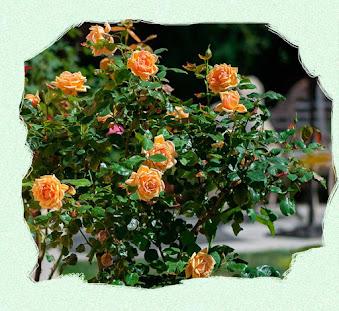 Жёлтая роза Солей д'Ор
