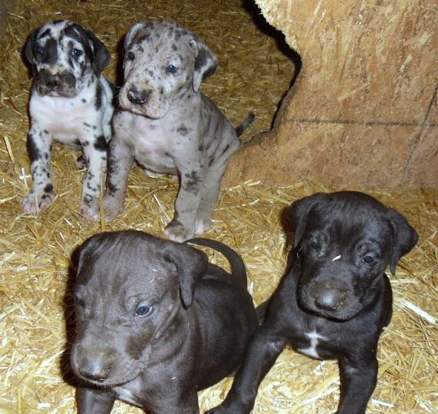 Frankferd, Goliath, Cooper & Gus @ 5 weeks