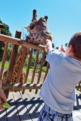 Giraffe at Santa Barbara Zoo. From The Secret to Big Fun in Santa Barbara for Very Little Money