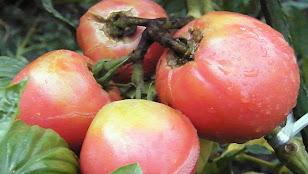 トマトの実割れ