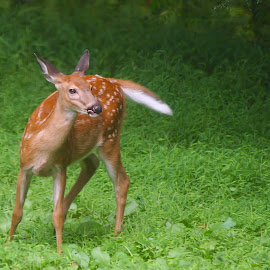 Fawn by BethSheba Ashe - Animals Other Mammals ( deer, pennsylvania, young, woodland, spots, garden, fawn )