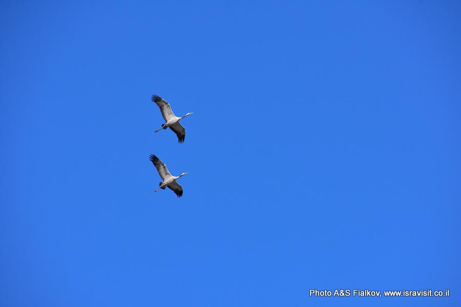 Пара журавлей летит. Израиль, долина Ха-Хула.