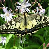 Papilio machaon ussuriensis SHELJUZHKO, 1910. 10 km au nord de Krasnorechenskij près de Dal'negorsk, 25 juillet 2010. Photo : J. Michel