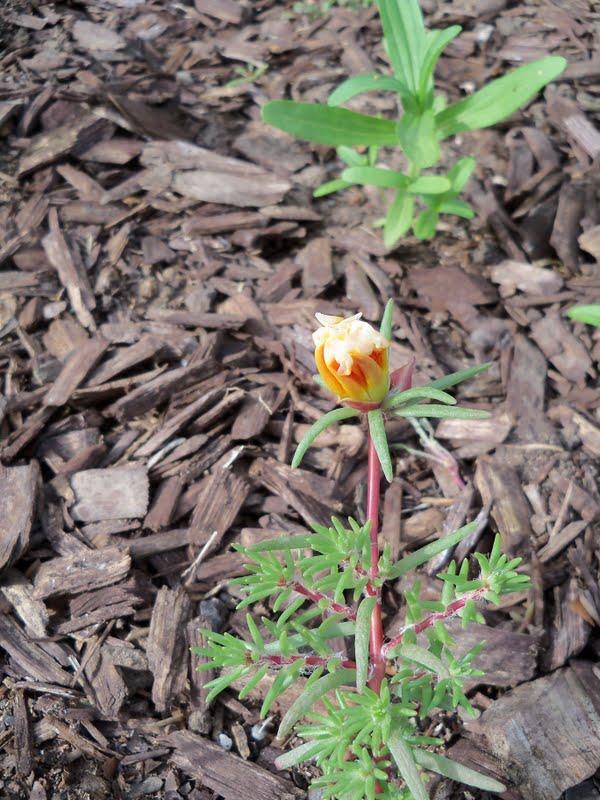 Gardening 2010 - 101_1403.JPG