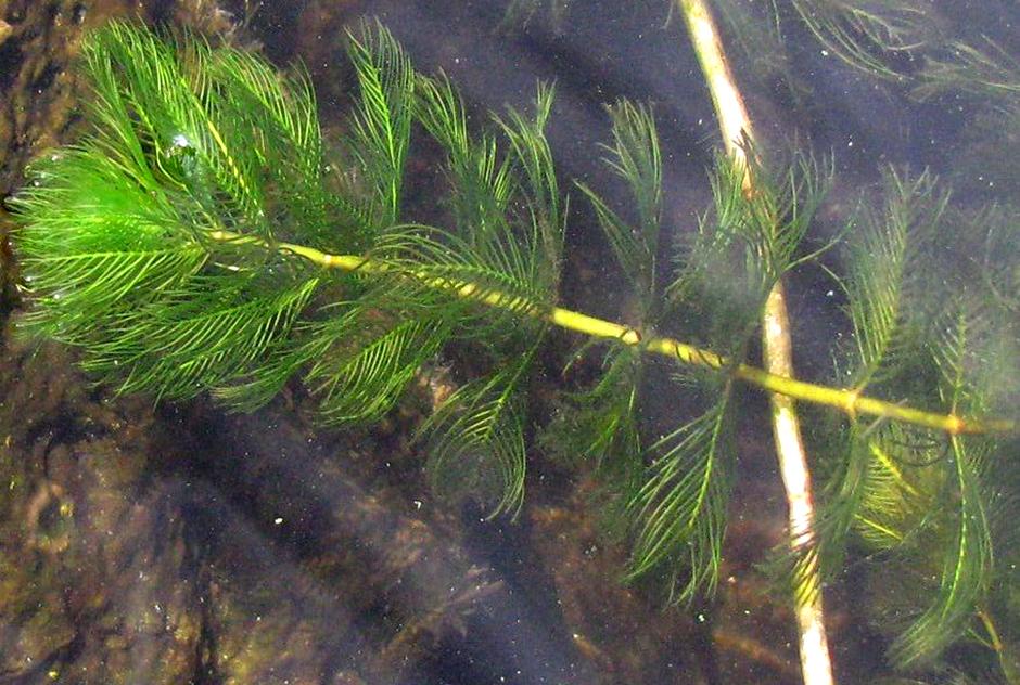 Уруть колосовидная (Myriophyllum spicatum)