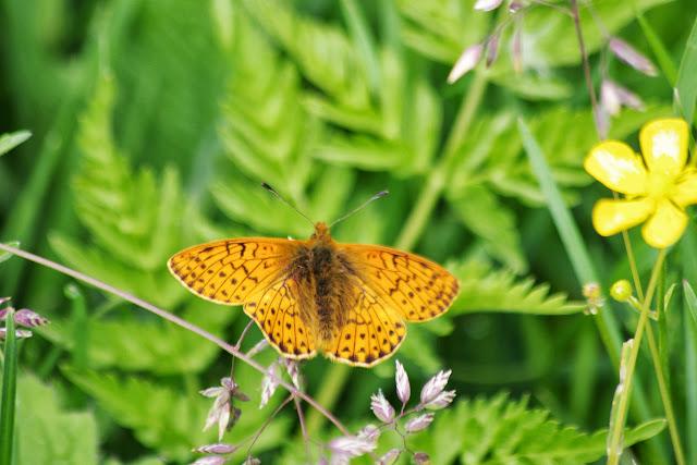 Boloria pales palustris FRUHSTORFER, 1909, mâle. Fex Curtins, 1980 m (Grisons, CH), 10 juillet 2013. Photo : J.-M. Gayman