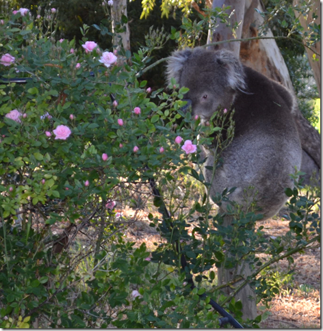 Koala looking back through rose bush