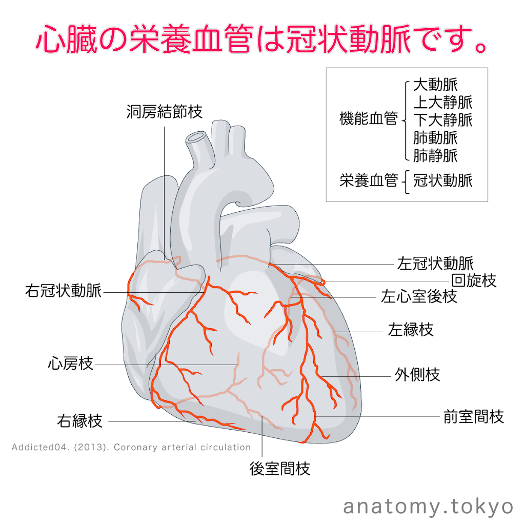 t211-10-心臓の栄養血管は冠状動脈.png