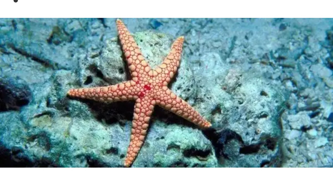If you cut a starfish, it won't bleed – it doesn't have blood! Rather, they circulate nutrients by using seawater in their vascular system