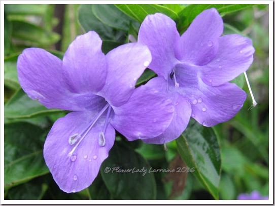 10-01-philippine-violet
