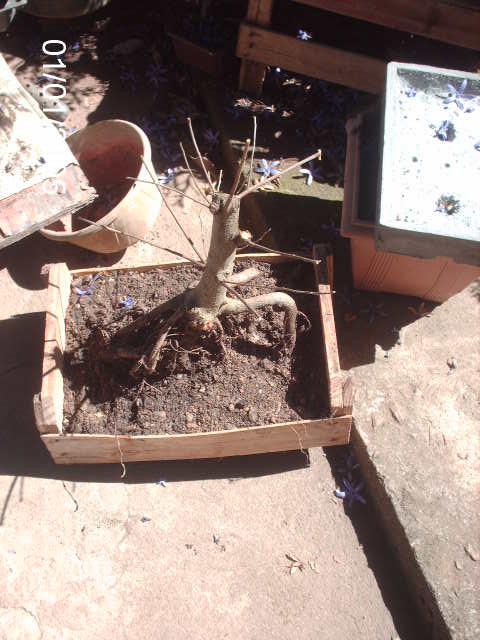 Ficus Microcarpa var. Indica... PICT1618