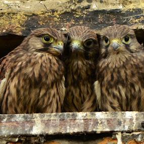 Three sisters by David Cozens - Animals Birds ( bird, three, town, kestrel, wall )