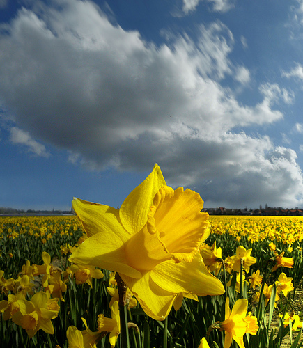 the daffodil in the poem i wandered lonely as a cloud by william wordsworth 1 1798 i wandered lonely as a cloud william wordsworth wordsworth, william (1770-1850) - english poet who, along with samuel taylor coleridge, was an early leader of english.