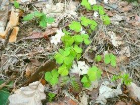 Kwitnący szczawik zajęczy blooming Oxalis montana