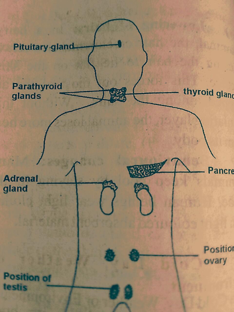 endocrine glands of humans