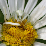 Thomisidae : Misumena vatia (CLERCK, 1757). Les Hautes-Lisières (Rouvres, 28), 16 juin 2012. Photo : J.-M. Gayman