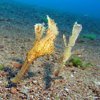 Ghost pipefish (Duain, Negros)