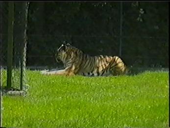 2001.06.09-02-004 tigre