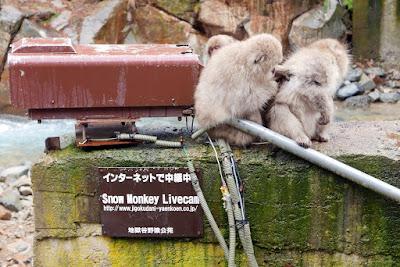 The Snow Monkeys of Jigokudani Yaen Koen Monkey Park - Snow Monkey Livecam Team Meeting