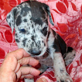 Available blue merle girl #2