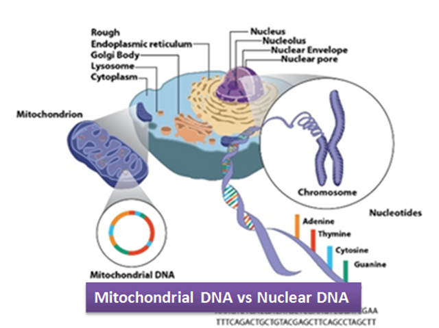 Difference between Mitochondrial and Nuclear DNA