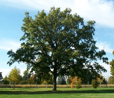 burr oak guys Quercus macrocarpa, the bur oak, sometimes spelled burr oak, is a species of oak in the white oak section quercus sect quercus, native to north america in the.