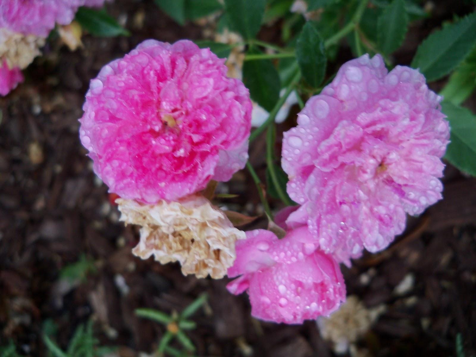 Gardening 2010, Part Two - 101_2105.JPG